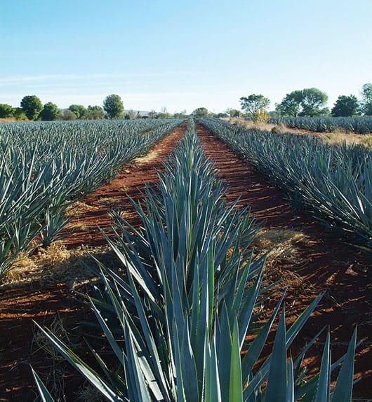 Foto: Plantío de agaves en Jalisco, © Shutterstock.