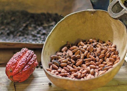 Foto: Fruto de cacao en proceso. © Shutterstock.