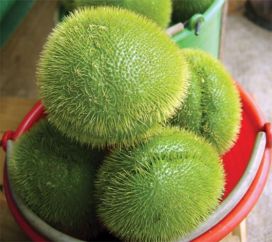 Foto: Chayotes verdes con espinas. © Shutterstock.