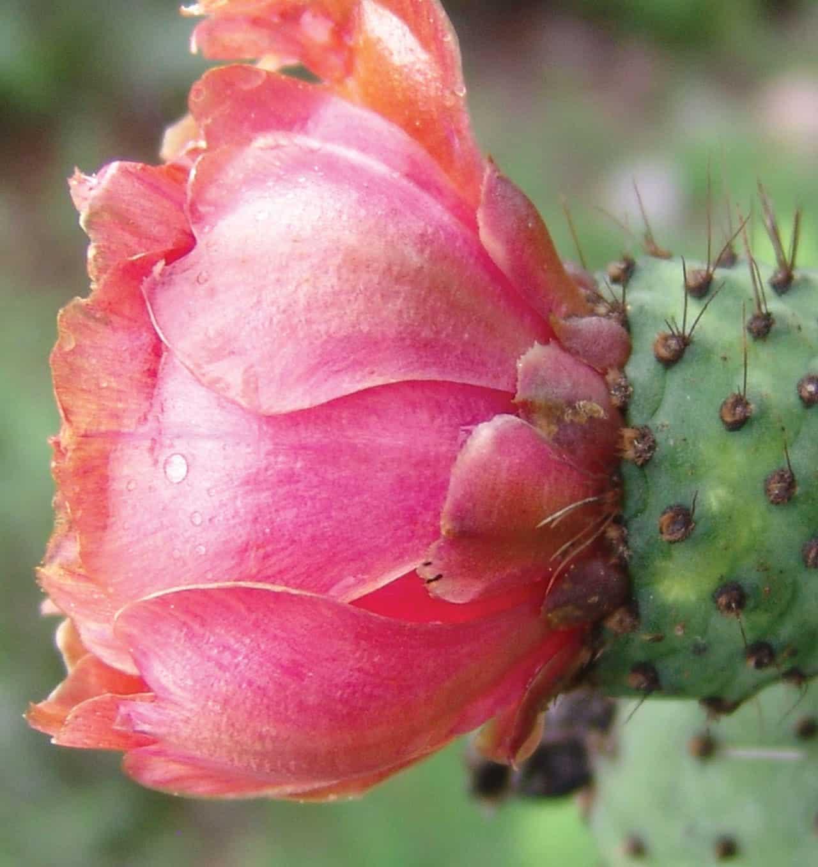 Foto: Planta de flor de nopal. (Irving Rosas). Reproducción autorizada por la CONABIO.