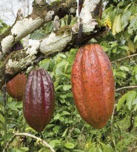 Fruto del árbol de cacao