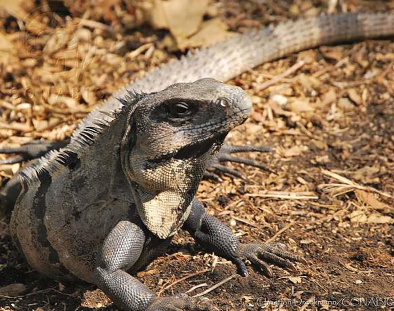 Foto: Iguana. © Reproducción autorizada por la CONABIO / Christian Dreckmann.