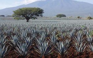 Paisaje de agaves azules en Tequila
