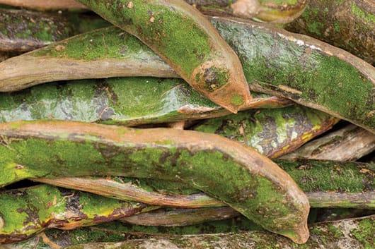 Foto: Fruto, vainas de jinicuil. © Shutterstock.