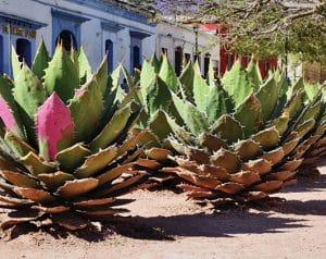 Agaves en el Centro Histórico de la Ciudad de Oaxaca