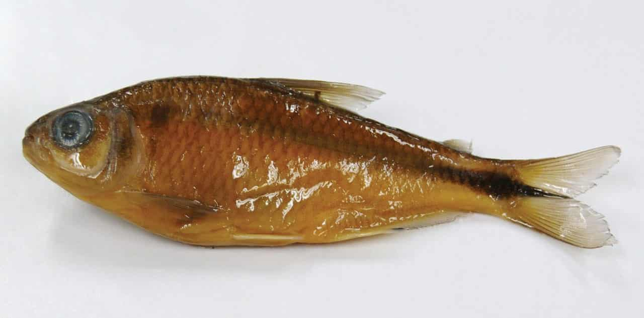 Foto: Pescado pepesca. (Altagracia Gutiérrez H.). Reproducción autorizada por la CONABIO.