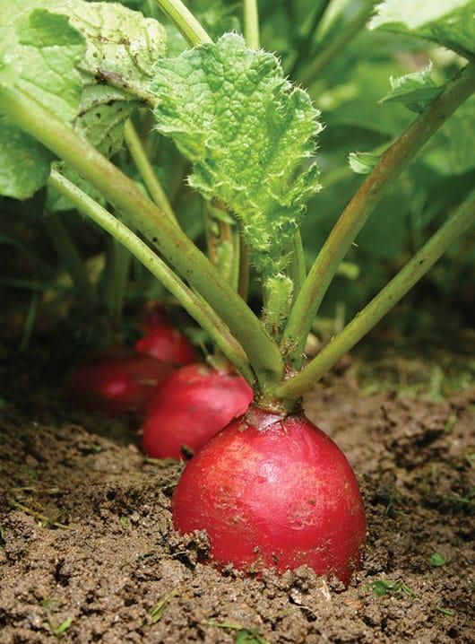 Foto: Rábanos en cultivo. © Shutterstock.