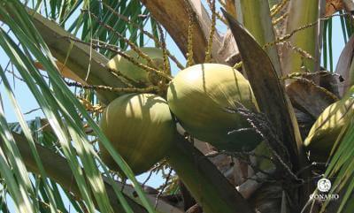 Foto: Palma de coco. © Reproducción autorizada por la CONABIO / Carlos Galindo.