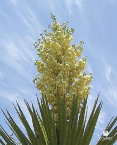 Foto: Planta de flor de izote.  © Reproducción autorizada por laCONABIO / Oswaldo Téllez